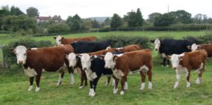 Image result for breeding cattle